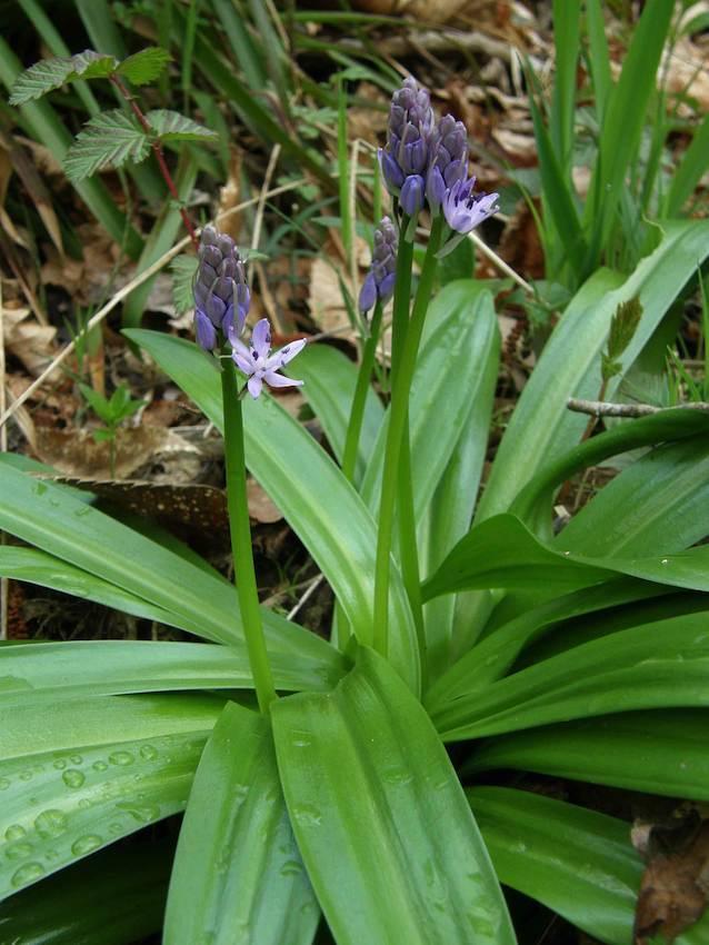 Scille lys jacynthe 1 - Scillia liliohyacinthus