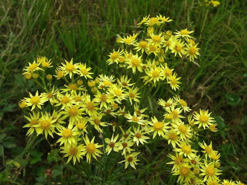 Séneçon jacobée - Jacobaea vulgaris