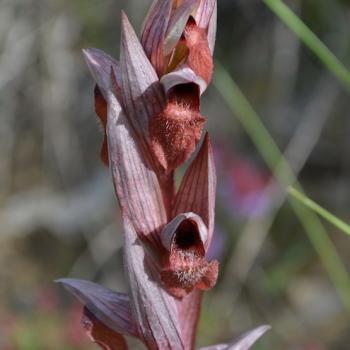 Serapias vomeracea 4 - copie