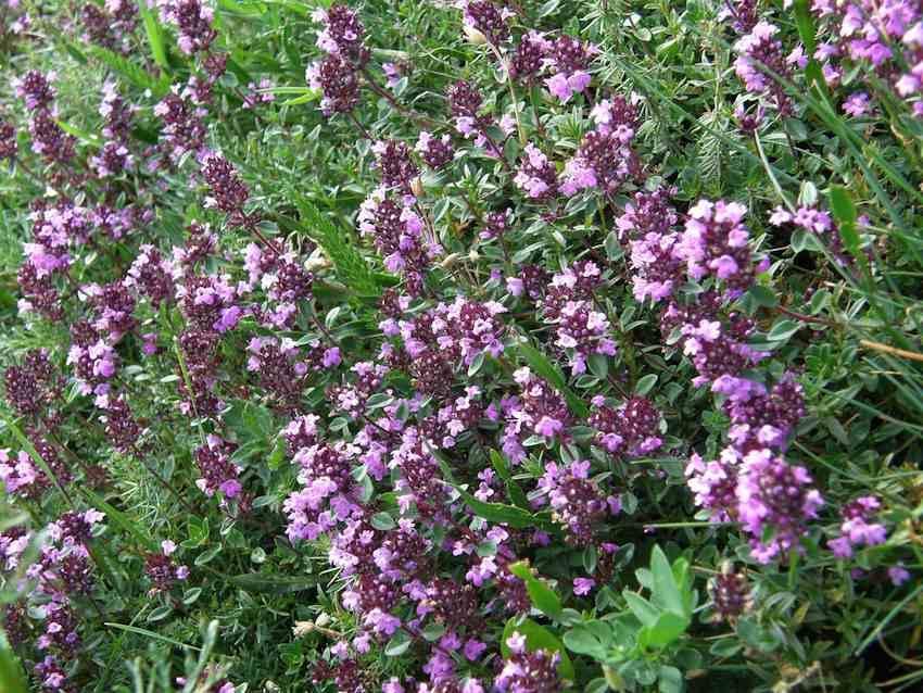Serpolet - Thymus serpyllum