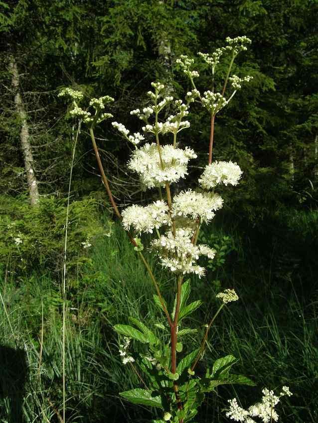 Spirée filipendule 1 - Filipendula vulgaris