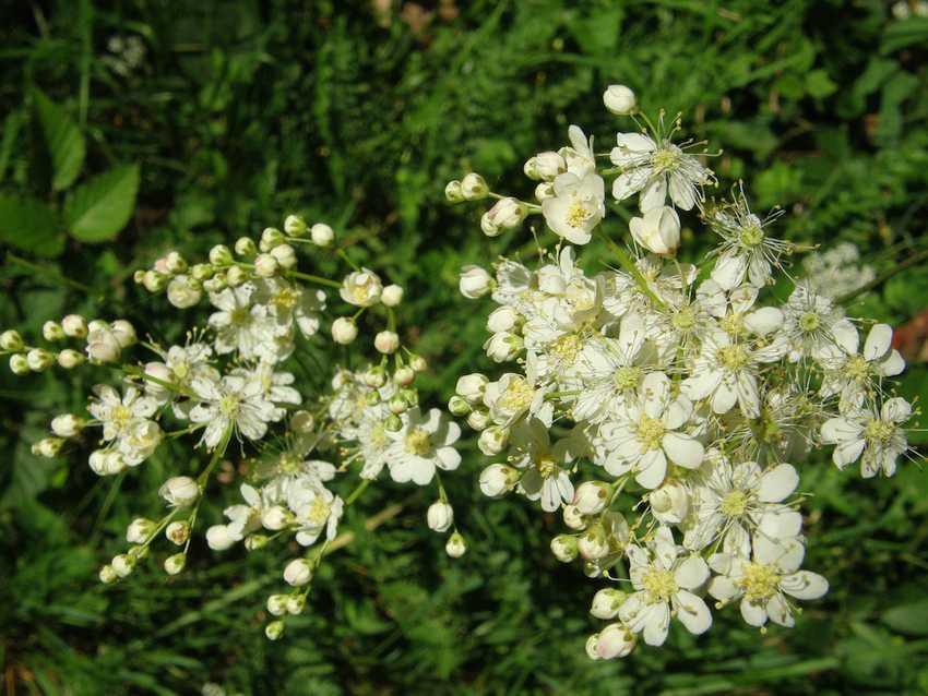 Spirée filipendule 2 - Filipendula vulgaris