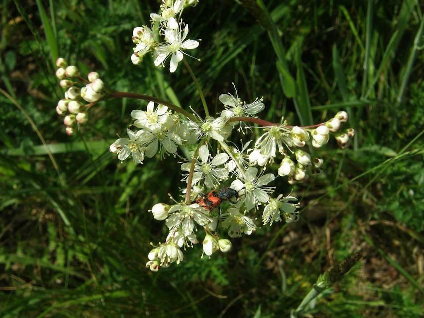 Spirée filipendule - Filipendula vulgaris