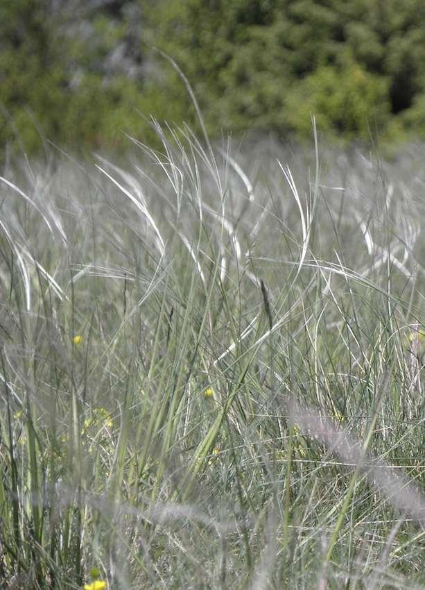 Stipe pennée - Poaceae