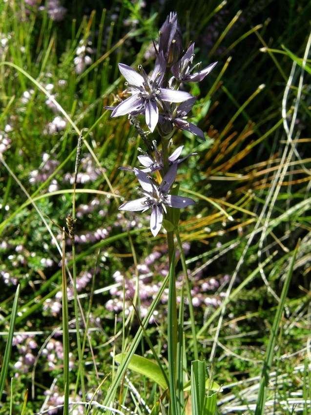 Swertie vivace - Swertia perennis - Gentianaceae