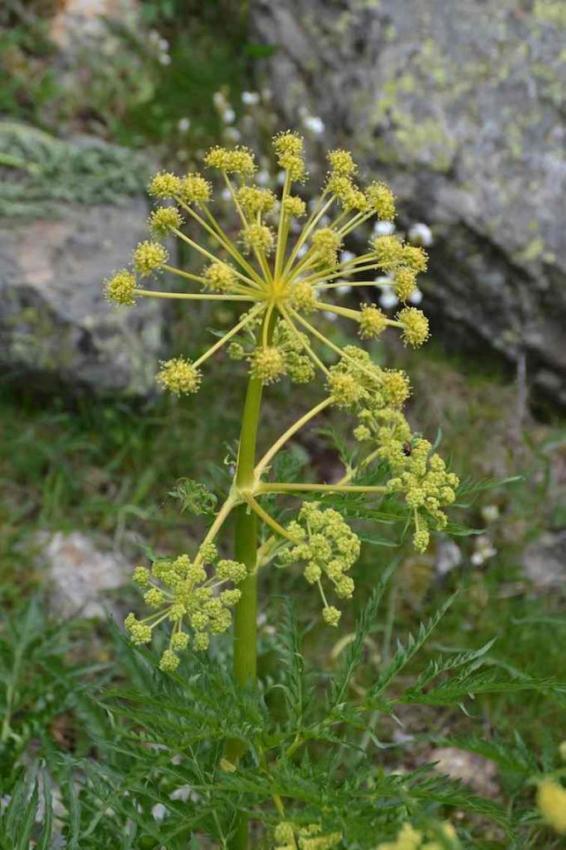 Thapsie velue - Thapsia villosa 2