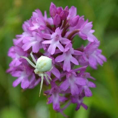 Thomise sur Orchis pyramidal