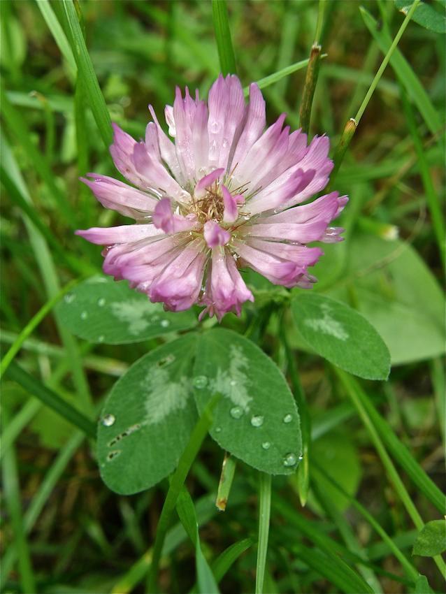 Trèfle des prés - Trifolium pratense