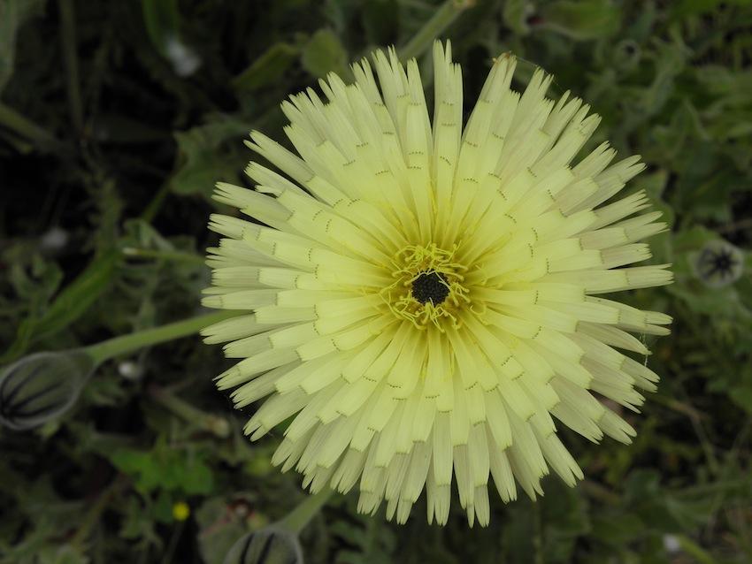 Urosperme de Daléchamp - Urospermum dalechampli Corbières