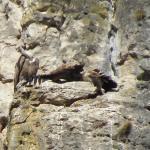 Vautours dans le nid