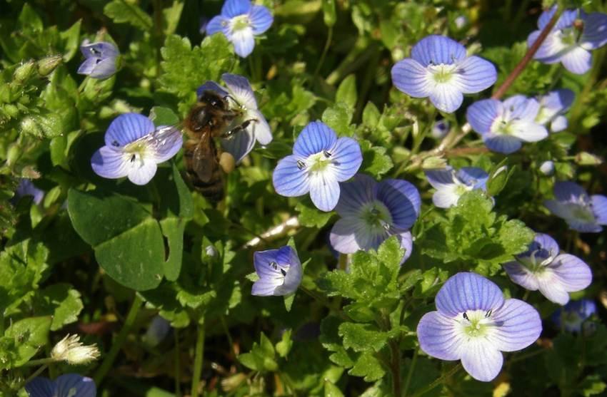 Véronique et abeille - Veronica chamaedris