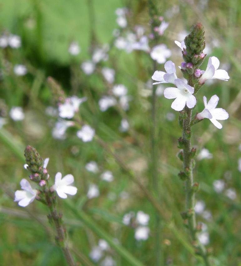 Verveine sauvage - Verbena officinalis