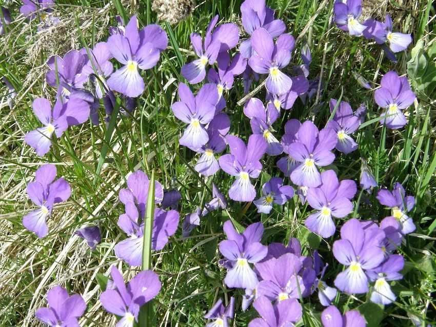 Violette de l'Aubrac - Violaceae