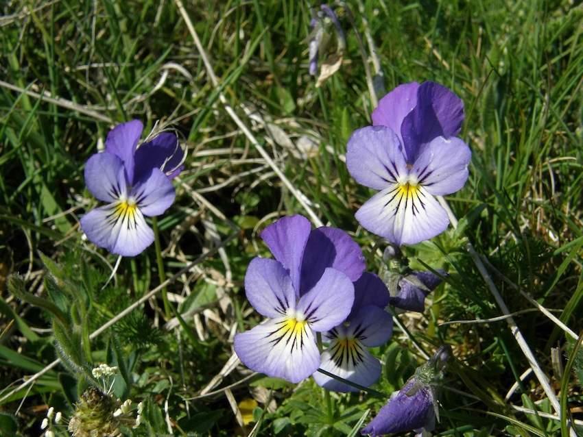 Violette de Silésie - Violaceae