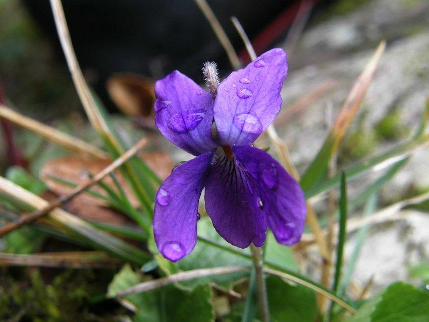 Violette - Viola odorata