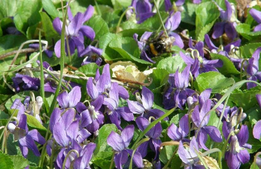 Violettes et Bourdon